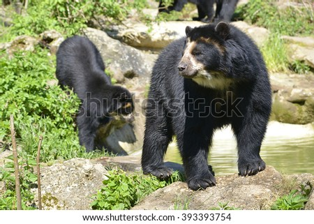 Two Andean bear (Tremarctos ornatus) standing near pond, also known as the spectacled bear - stock photo