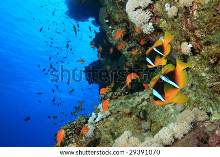 Two Anemonefish (Amphiprion bicinctus)