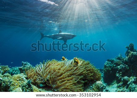 Two anemonefish hiding in anemone. Great White shark on background. Sunbeams through water surface with ripples. - stock photo