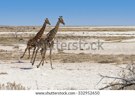 Two Angolan Giraffes (Giraffa camelopardalis angolensis) running in Etosha National Park, Namibia - stock photo