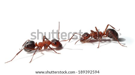 Two ants meeting isolated on white - stock photo