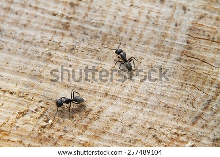 Two Ants on a Wood texture background - stock photo