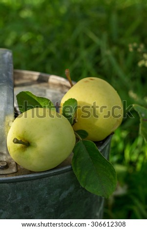 Two apples ripening white varieties in the garden of a watering can on the aluminum on the background of green grass. selective Focus - stock photo