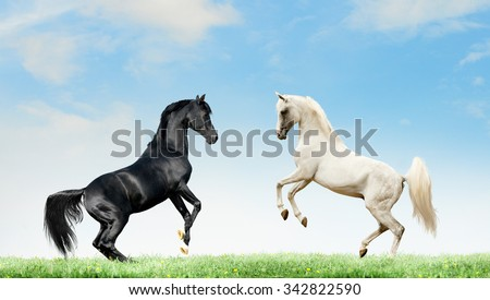 two arabian black and grey horses rearing on summer background - stock photo