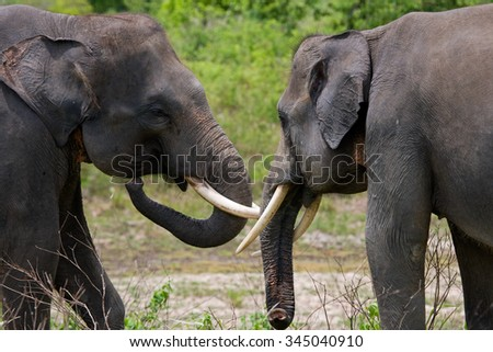 Two Asian elephants playing with each other. Indonesia. Sumatra.