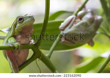 Two Australian Green Tree Frogs on a leaf. - stock photo