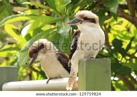 Two Australian kookaburras from kingfisher family sitting on post in Sydney suburban backyard - stock photo