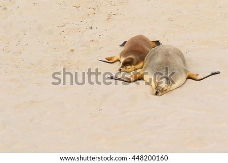 Two Australian Sea Lions sleeping on warm sand at Seal Bay, Sea lion colony on south coast of Kangaroo Island, South Australia - stock photo