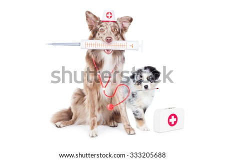 Two Australian Shepherd (Aussie) dogs as Doctor Veterinarian with giant syringe , stethoscope, thermometer, suitcase and Nurse hat. - stock photo