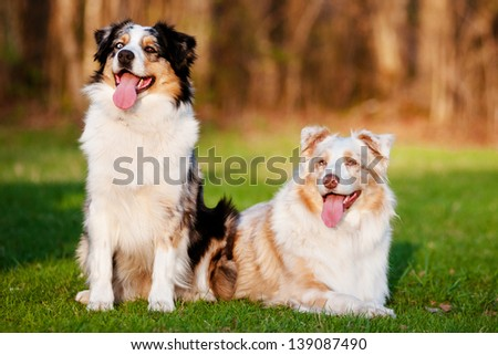 Two Australian shepherd dogs - stock photo