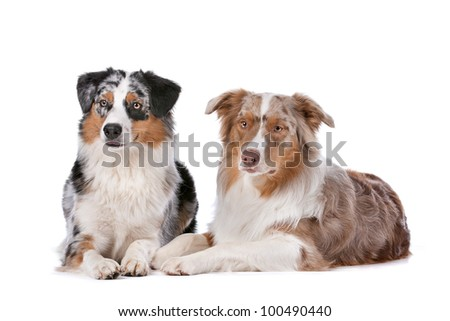 Two Australian Shepherd dogs in front of a white background