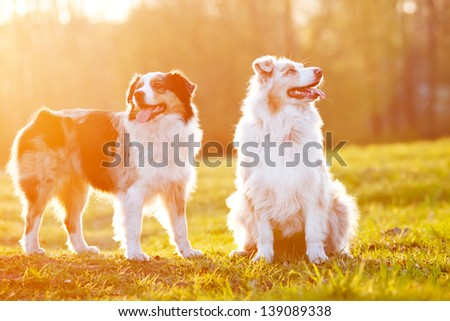 Two Australian shepherd dogs in sunset light - stock photo