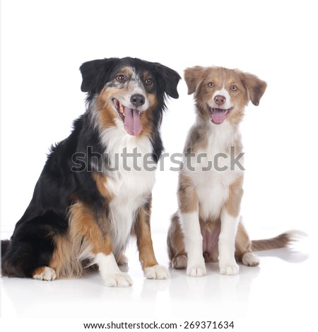 Two australian shepherd dogs - mother and daughter isolated