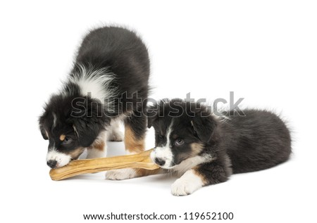 Two Australian Shepherd puppies, 2 months old, eating knuckle bone against white background