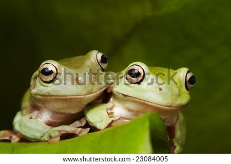 Two Australian tree frogs (Litoria caerulea) embrace on a leaf - stock photo