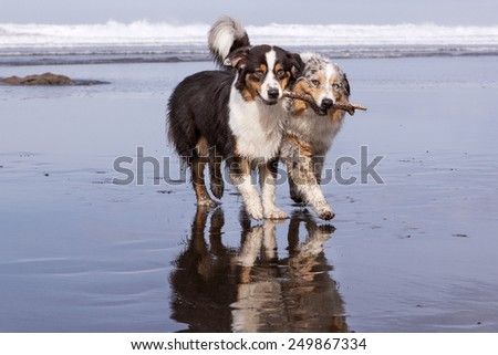 Two Australians Shepherds dogs running in the beach holding and sharing a stick - stock photo