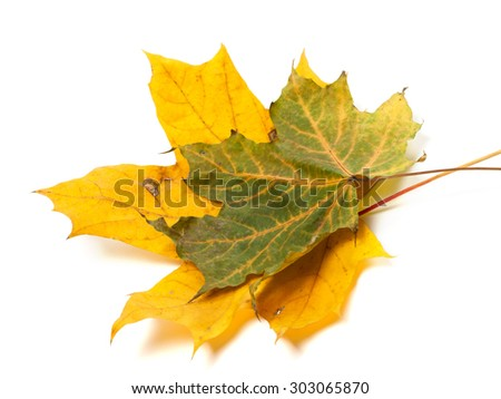 Two autumn maple leafs. Isolated on white background - stock photo