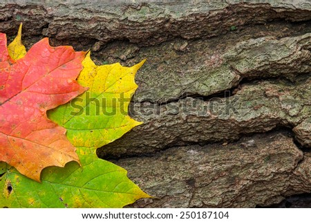 Two autumn multi-colored maple leaves, rest side by side on a cracked dying log. - stock photo