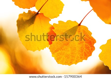 Two autumn yellow leaves. Macro image with selective focus. - stock photo