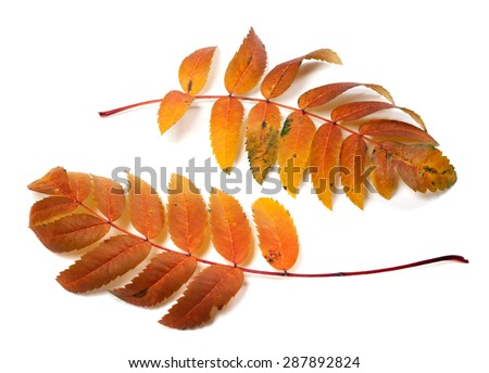 Two autumnal rowan leafs isolated on white background  - stock photo