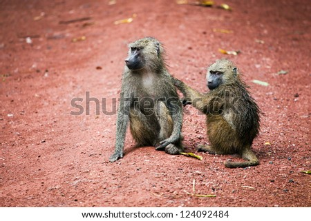 Two Baboon monkeys in African bush. Lake Manyara National Park in Tanzania