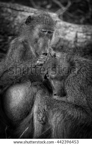Two baboons grooming in Kruger National Park