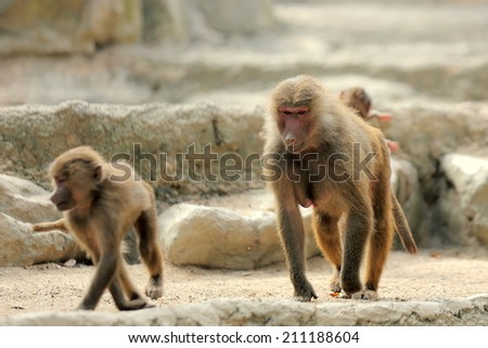 Two Baboons Moving Moving Around in their Habitat   - stock photo