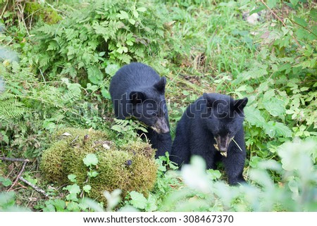 Two baby black bear cubs - stock photo