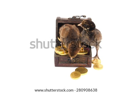 Two baby chickens stand in Treasure Chest isolated on white background - stock photo