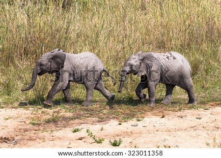 Two baby elephants in Kruger National Park in South Africa - stock photo