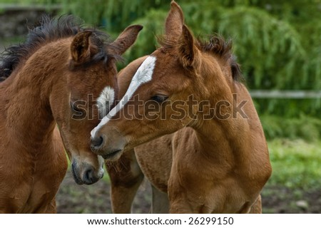 Two baby foals showing affection
