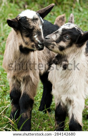 Two baby goats on pasture