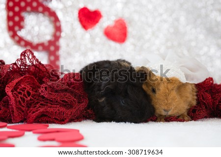 Two baby guinea pigs in love. Their romantic photo would be great for anniversary or wedding greeting cards, advertisements, magazines, posters, wall art, or any wonderfully creative idea or concept. - stock photo