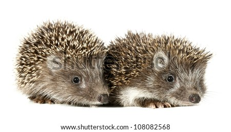 Two baby hedgehogs - stock photo