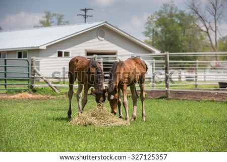 Two baby Horses eating hay