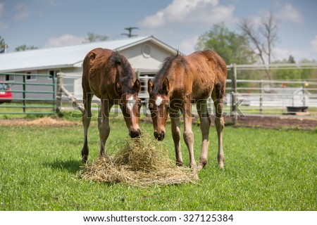 Two baby Horses eating hay - stock photo