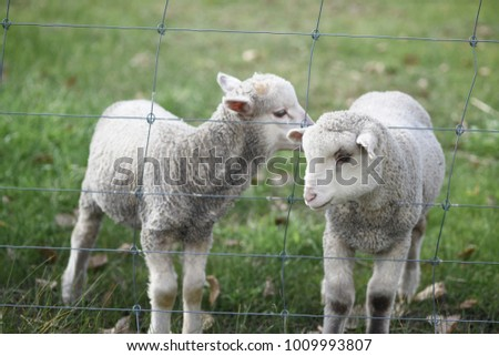Two baby lambs in the farm