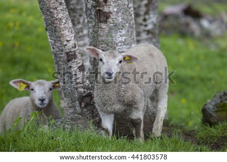 Two baby lams. Northern Norway.Senja. - stock photo