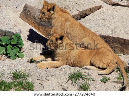 Two baby lions in Zoo park, Denmark - stock photo
