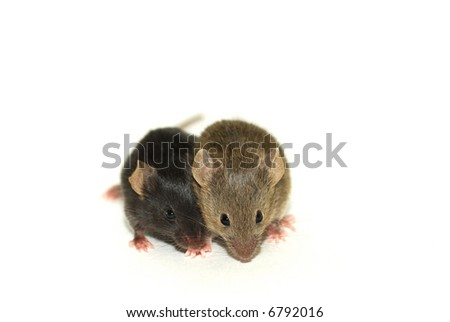Two baby mice. One brown, the other black, while they are from the same nest.