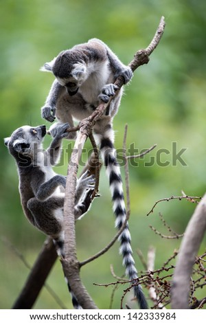 Two baby ring tailed lemurs playing on a branch/Baby Ring Tailed Lemurs/Two baby ring tailed lemurs playing on a branch - stock photo