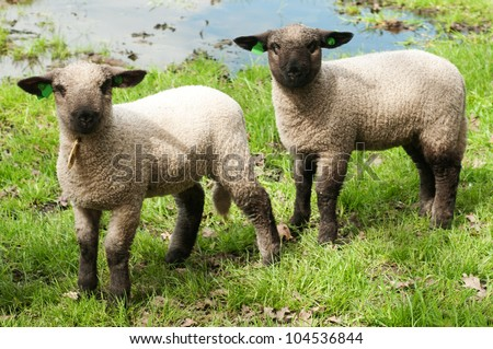 Two baby sheep in a meadow - stock photo