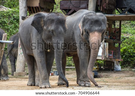 Two Baby Thai Elephant  at Mae-sa Elephant Camp, Chiangmai, Thailand