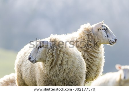 Two back lit sheep staring to left and right on a bright winter morning - stock photo