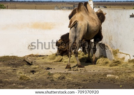 Two bactrian camels (Camelus bactrianus)