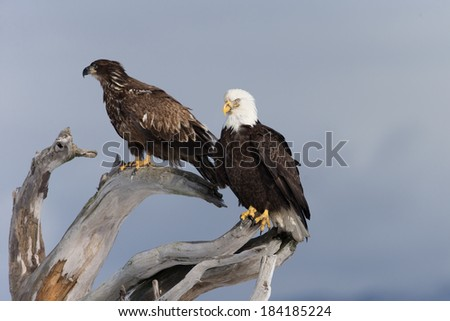 Two Bald Eagles perched on drift wood in Homer, Alaska - stock photo