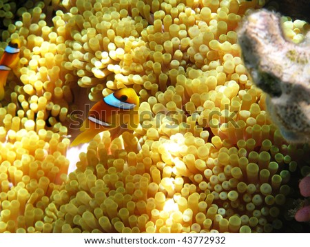 Two-banded clownfish