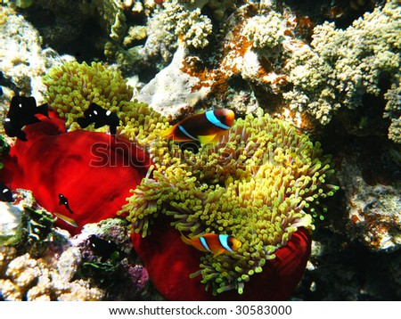 Two-banded clownfishes and sea anemones