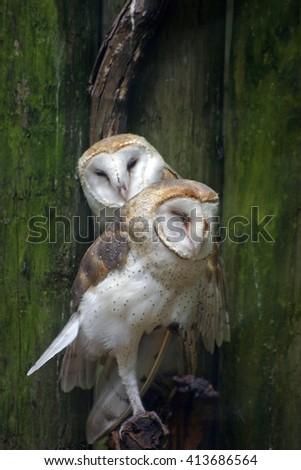 Two barn owls cuddling - stock photo