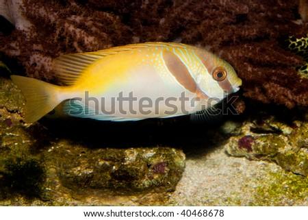 Two Barred Rabbitfish - stock photo